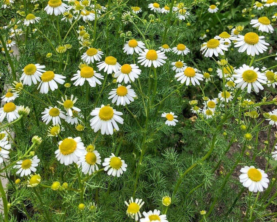Chamomilla Recutita (Matricaria) Flower Extract - Also known as German Chamomile