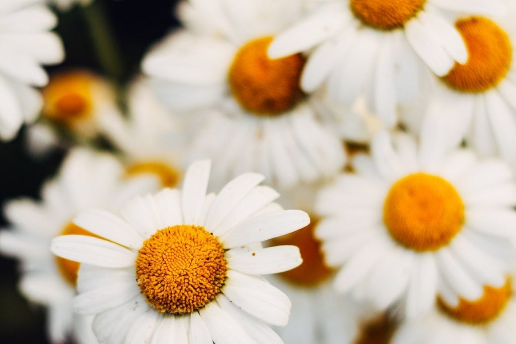 Anthemis Nobilis Flower Extract used in skin care products