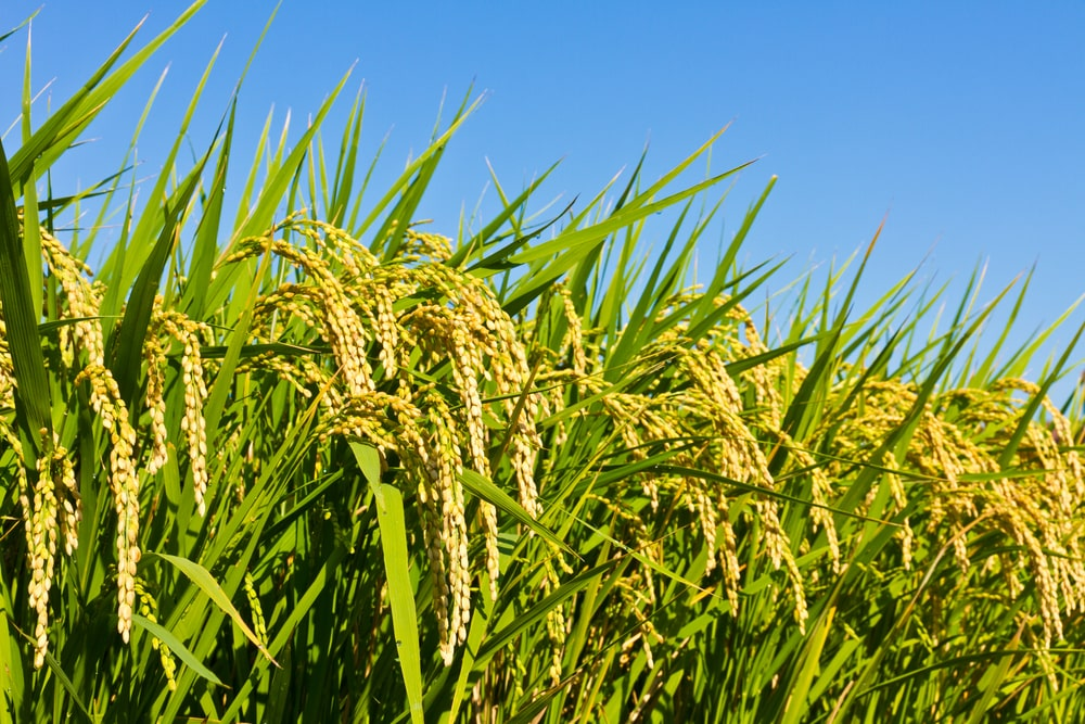 Oryza Sativa (Rice) Bran Oil Uses & Benefits for Skin
